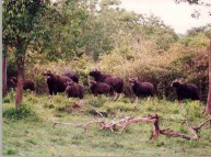 Nagarhole_bisons