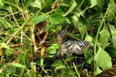 15---Black-Crow-&-Blue-Tiger-Butterflies