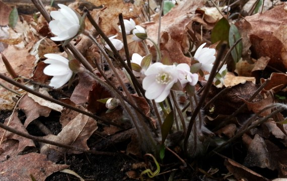 Sharp-lobed Hepatica in bloom