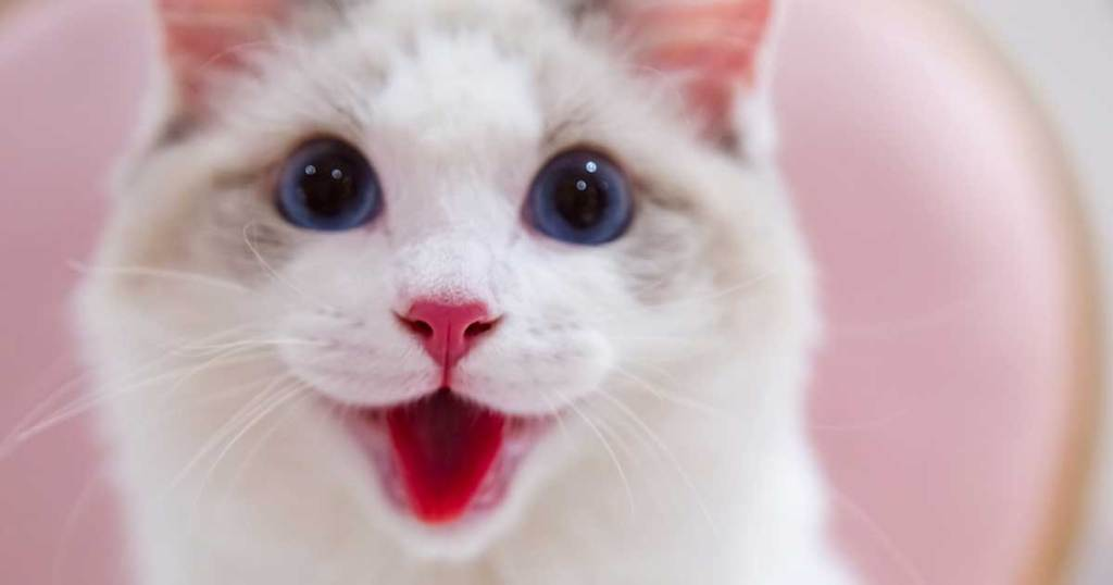 RAGDOLLS HAVE BEAUTIFUL BLUE EYES -7 Fun Facts About Ragdoll Cats