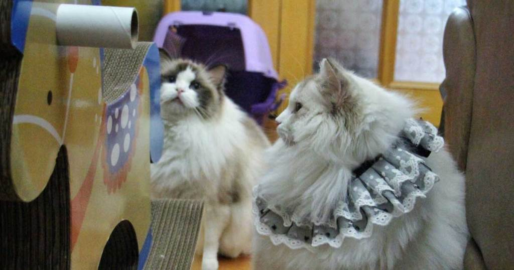 Different Types Of Ragdoll Shedding