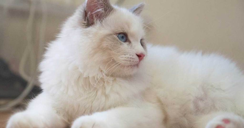 RAGDOLLS ARE QUIET KITTIES.-7 Fun Facts About Ragdoll Cats