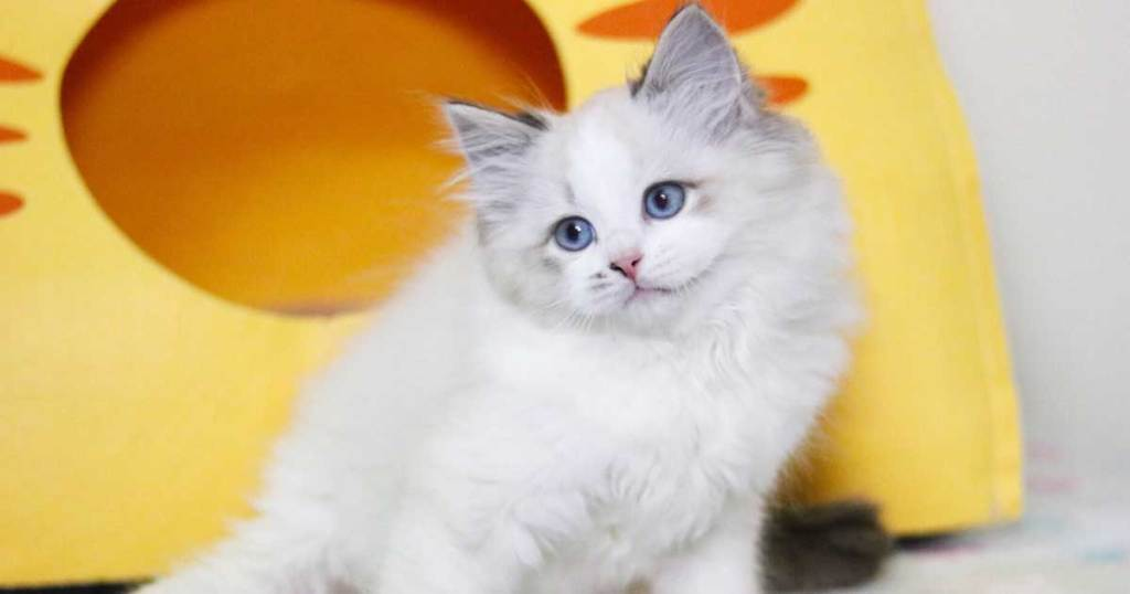 Your Ragdoll Could Be Suffering From Illness or Hormone Imbalance