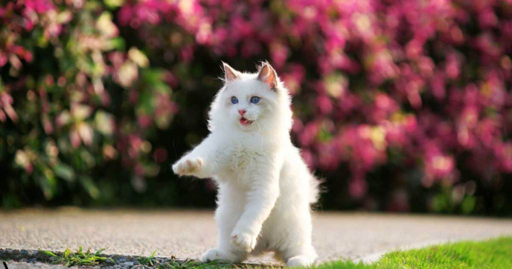 How To Prevent & Remove Ragdoll Fur From Your Home