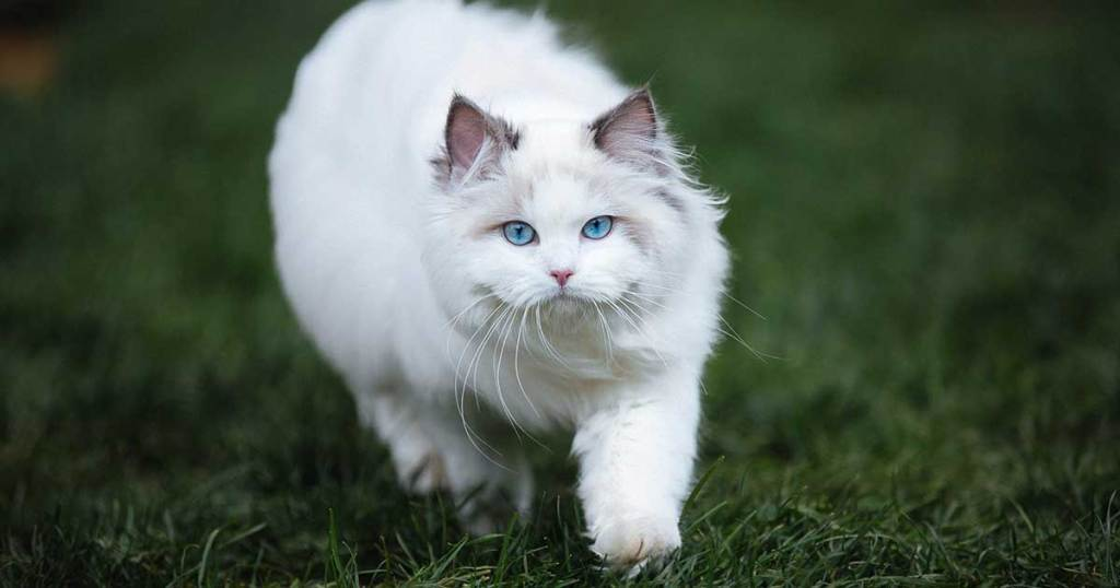 THEY ARE ONE OF THE LARGEST CAT BREEDS-7 Fun Facts About Ragdoll Cats
