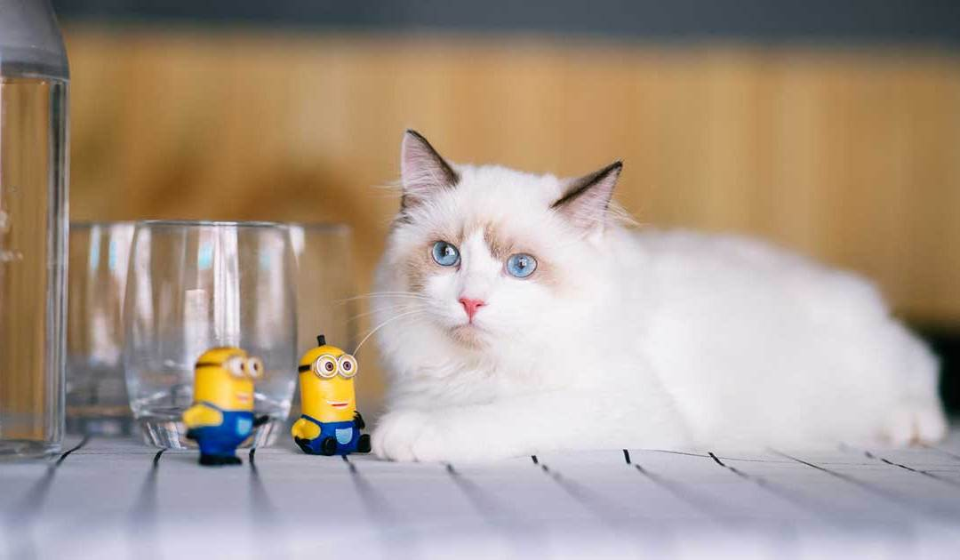 7 Fun Facts About Ragdoll Cats