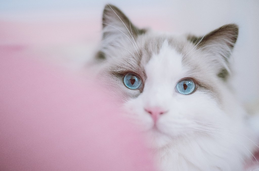 Pros and Cons of Having a Ragdoll Cat