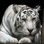 Animals Jigsaw Puzzle Tiger