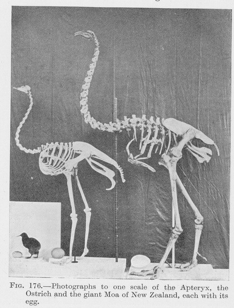 a modern Kiwi, a modern Ostrich, and a giant Moa with their respective eggs.