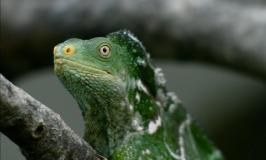 Monuriki Crested Iguana is genetically unique and listed as Critically Endangered