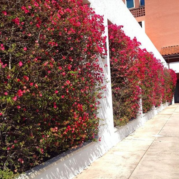 Beautiful Wall of Flowers on Alhambra Plaza in Coral Gables