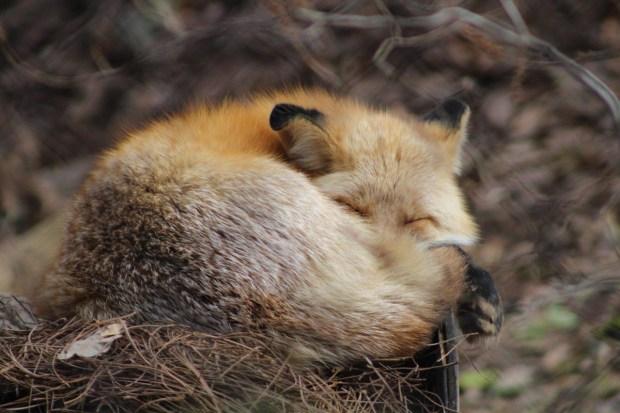 Asheville North Carolina Travel Guide - Nature Center Fox