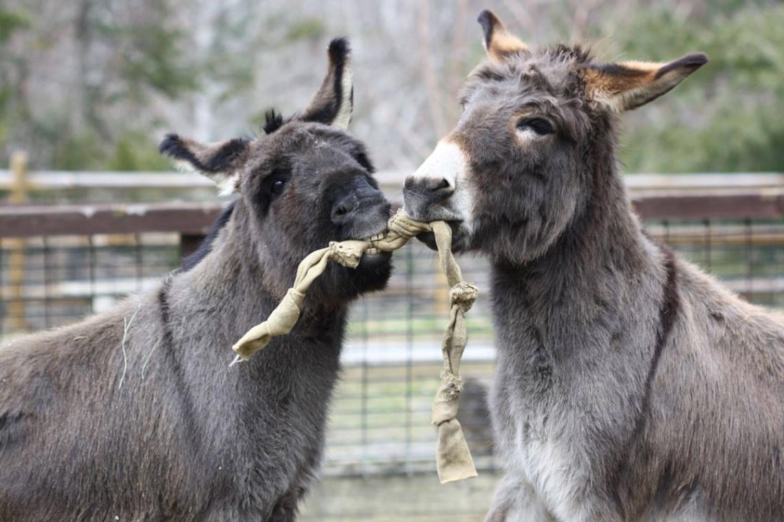 Asheville North Carolina Travel Guide - Nature Center Sicilian Donkeys