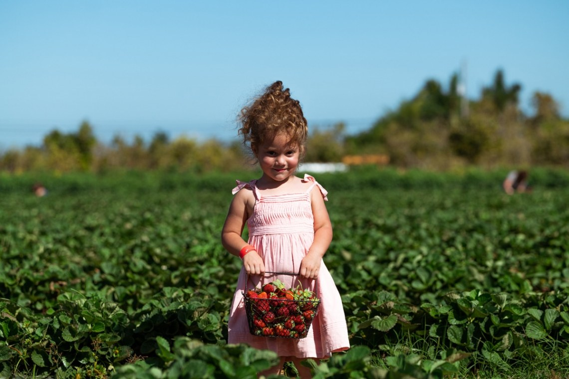 Strawberry Picking in Homestead at The Berry Farms