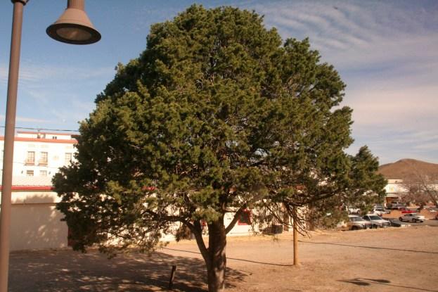 Pretty mesquite tree in Alpine, Texas