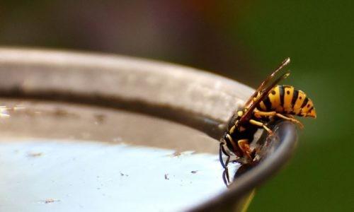 imenotteri prevenzione punture vespa cronaca glocal