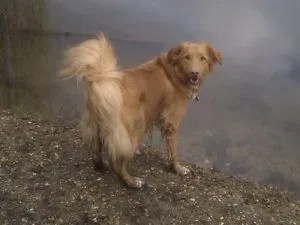 Duck-Tolling-Retriever