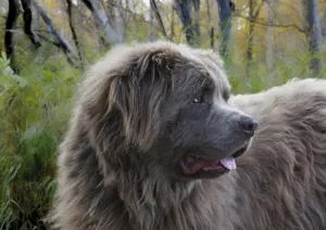 dog-newfounland-breed