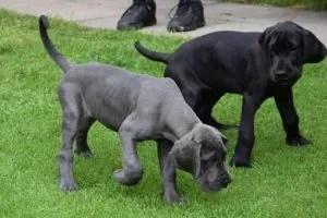 dane-pups