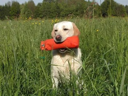yellow-labrador-retriever