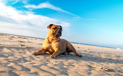 bulldog on the beach