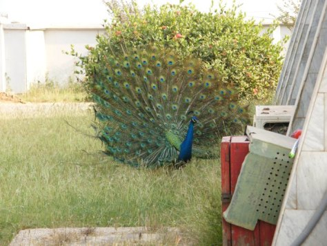 You can't tell where the peacock's tail ends and where the bush begins