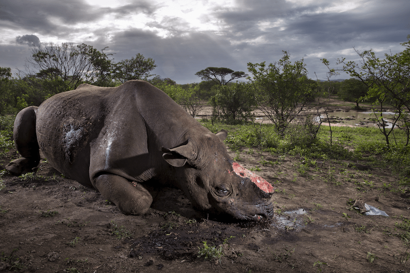 Wildlife photographer exposes illegal rhino horn trade
