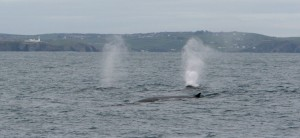 Fin whales off Galley Head, West Cork