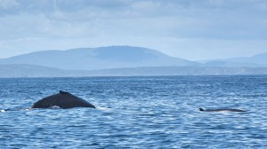 Humpback and minke whale