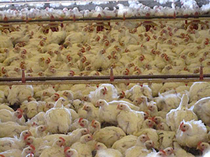 compassion in world farming poultry