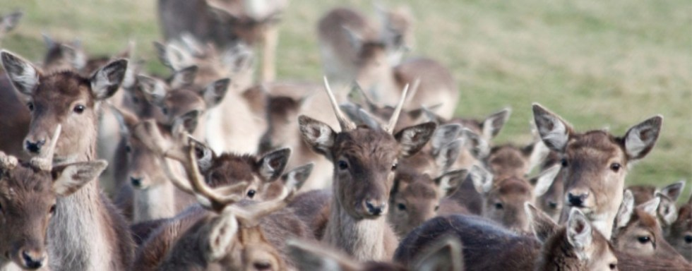 Deers At Prideaux Place