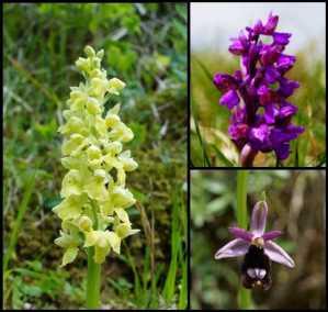 Orchideee_Madreselva