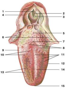 La lingua e corde vocali