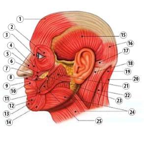 muscoli facciali laterali