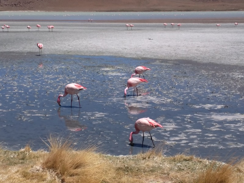 Flamingos at 15,000 ft in the Andes