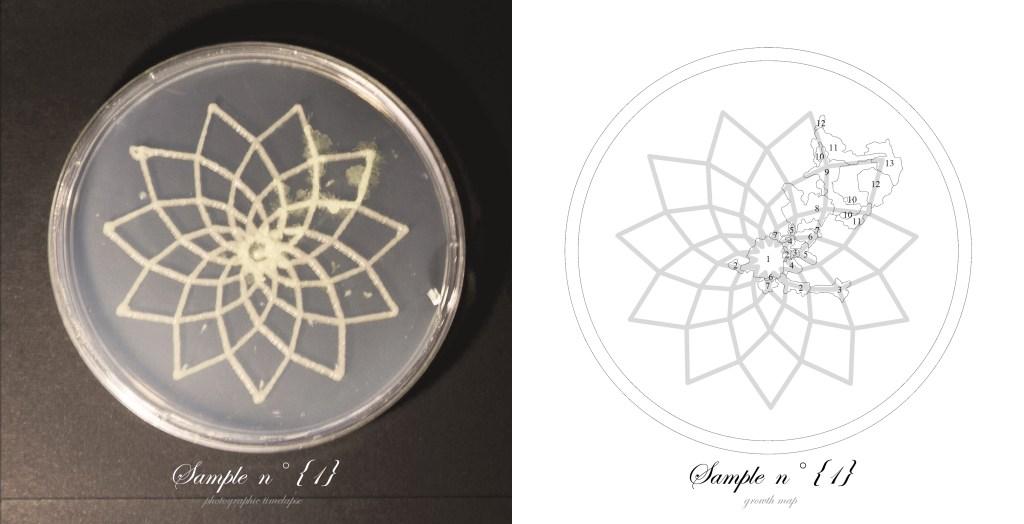 Officina-Corpuscoli-BioLogic-timelapse-overlap-frames-sample01