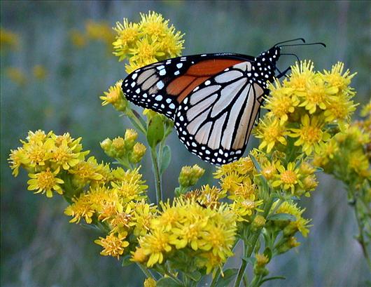 Cómo Atraer Colibríes & amp; Mariposas a su jardín