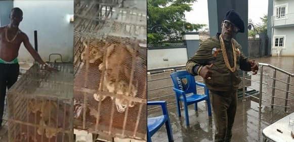 APC Chieftain, Tony In Edo State Buys Two Lions As Security Guards (Video)