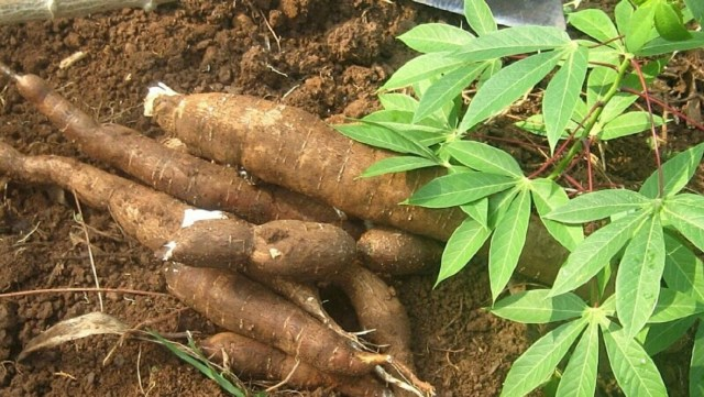 9 amazing health benefits of cassava