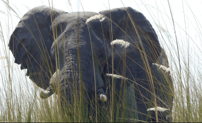 59-year old killed by Elephant, Government reacts