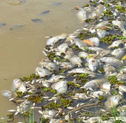 peixes-mortos-sao-retirados-lago-Campolim-Sorocaba