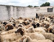 Le pecore contaminate della masseria Fornaro (Infophoto)