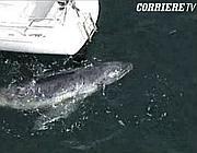 Un frame del video della balena che ha scambiato uno yacht per la propria madre