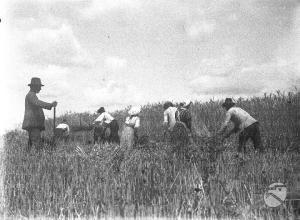 Archivio Fotografico Luce - Fondo Pastorel, 1923. Contadini che raccolgono il grano