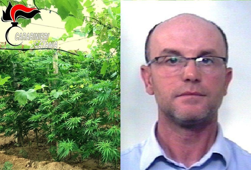 Mazzarrone, annata 'stupefacente' per viticoltore 41enne: nella sua vigna 350 piantine di canapa indiana