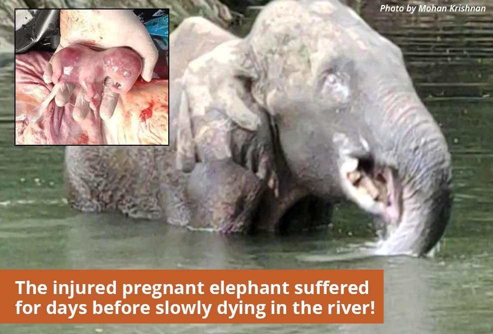 India, elefantessa incinta uccisa con i petardi: arrestato uomo coinvolto nella vicenda