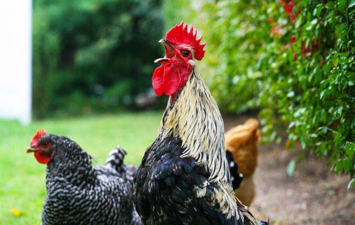 Acireale, protesta per i galli che cantano: vicino di casa 65enne lo ferisce a coltellate