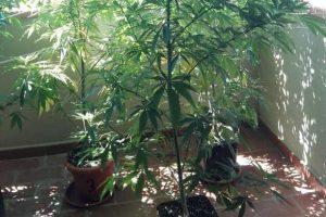 Fiumefreddo, panettiere 38enne in possesso di marijuana e piante di cannabis sul balcone: denunciato