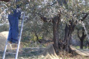 Paternò, cade dall'albero mentre raccoglie le olive: 44enne in prognosi riservata al 'Cannizzaro'