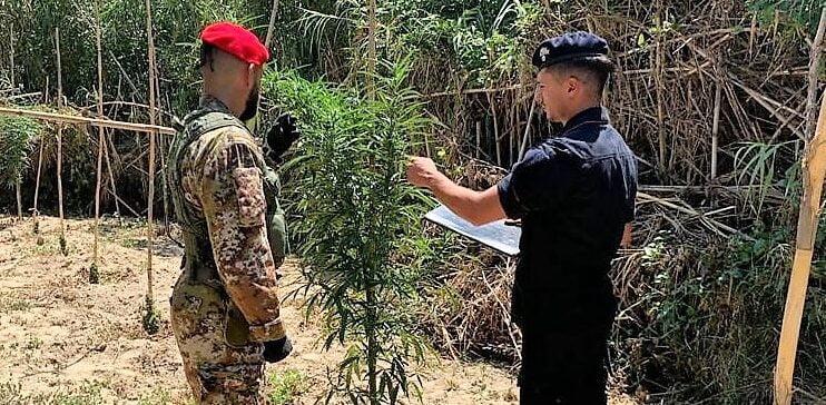 Caltagirone, piantagione di canapa indiana in c.da Albanazzo: 4 persone arrestate